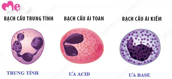 3 loại bạch cầu hạt có trong máu