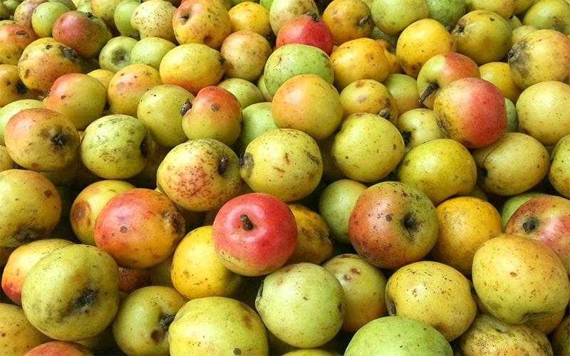 Chọn quả táo mèo dẹt, màu vàng óng, có má hồng và không bị dập nát
