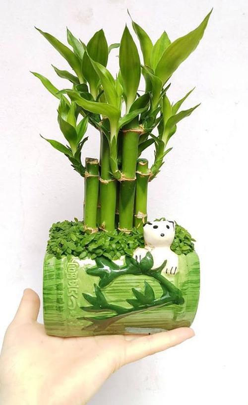 Cây phát lộc là loại cây rất thích hợp trồng trong chung cư