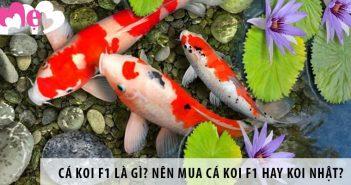 Cá koi F1 là gì? Nên mua cá koi F1 hay koi Nhật?