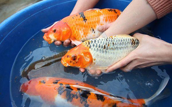Lựa chọn cặp cá koi Nhật bố mẹ thuần chủng