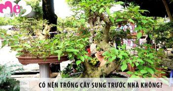 Có nên trồng cây sung trước nhà không?