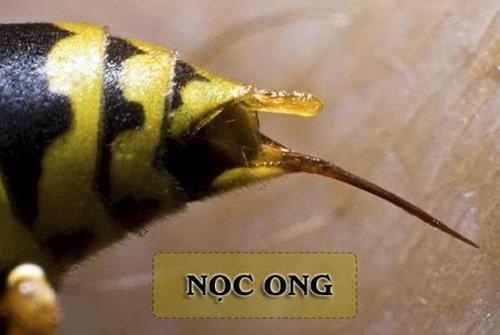 Nọc ong có tác dụng rất đặc biệt đối với cơ thể con người