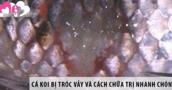 Cá Koi bị bệnh tróc vảy và cách chữa trị nhanh chóng