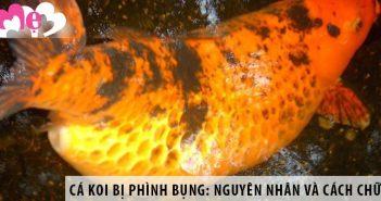 Cá Koi bị phình bụng: Nguyên nhân và cách chữa trị